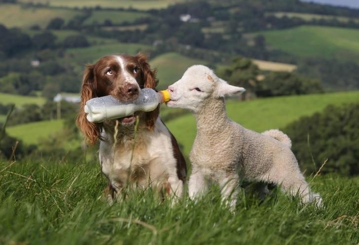 собака кормит из бутылочки ягненка