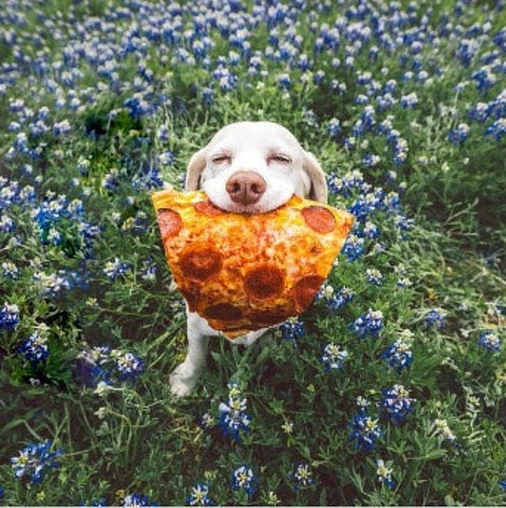 собака с пиццей во рту