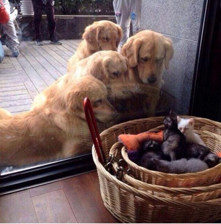 золотистые ретриверы смотрят на котят