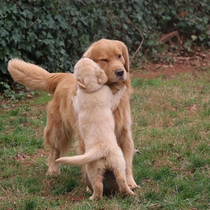золотистый ретривер и щенок