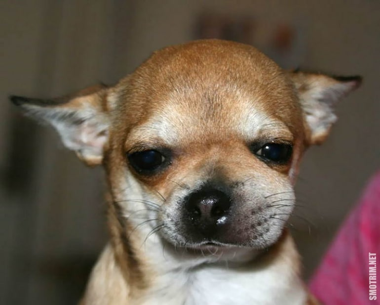 собака ужаленная пчелой