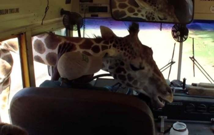 жираф в салоне автобуса