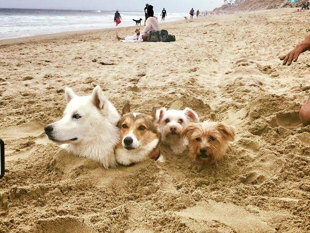 собаки зарыты в песок на пляже