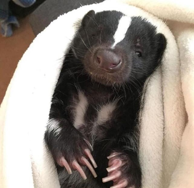 скунс в одеяле