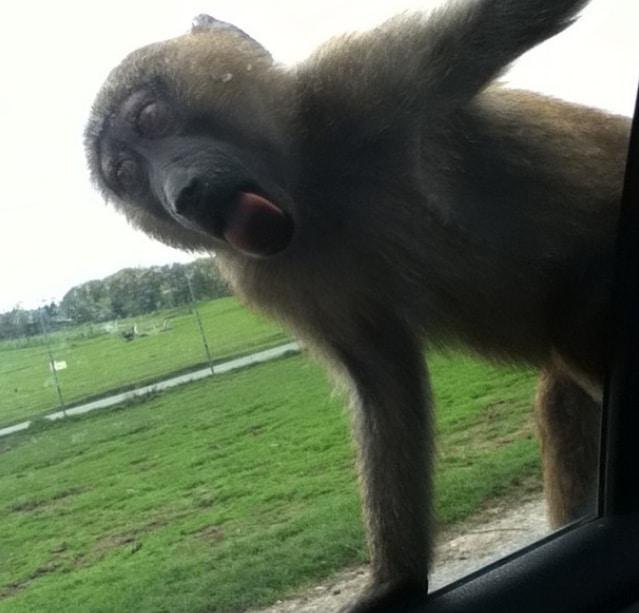 обезьяна облизывает стекло