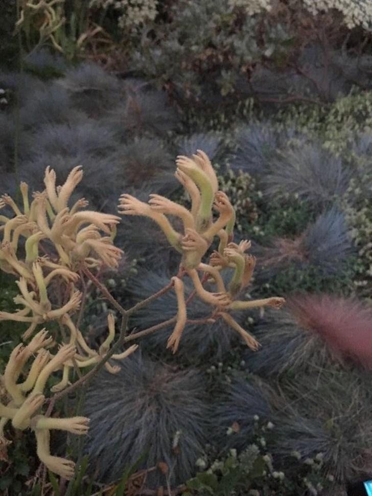 растение в виде человеческих рук