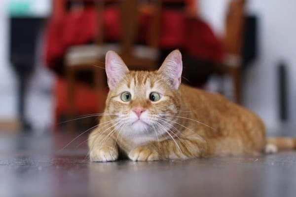 рыжий косоглазый кот