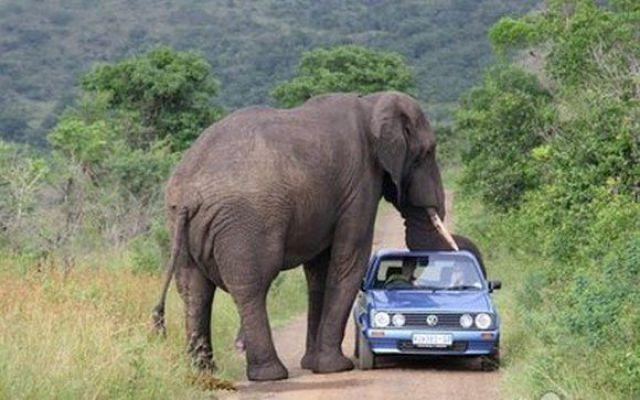 слон рядом с легковой машиной