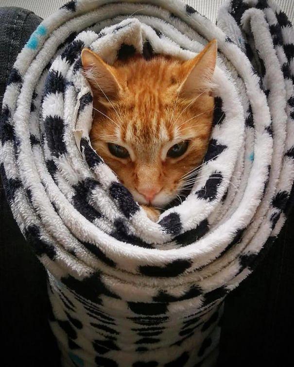 рыжий кот в пледе