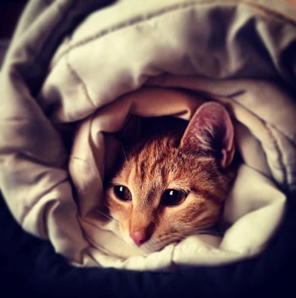 рыжий кот в одеяле