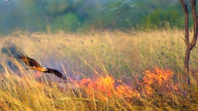 ястреб над горящим лугом