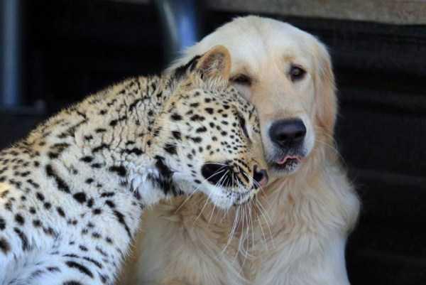 леопард и собака