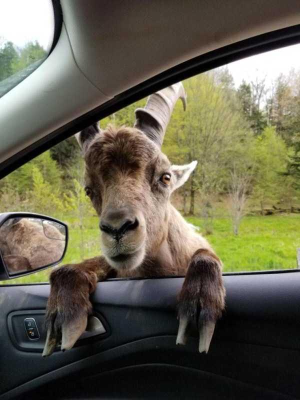 коза заглядывает в окно автомобиля
