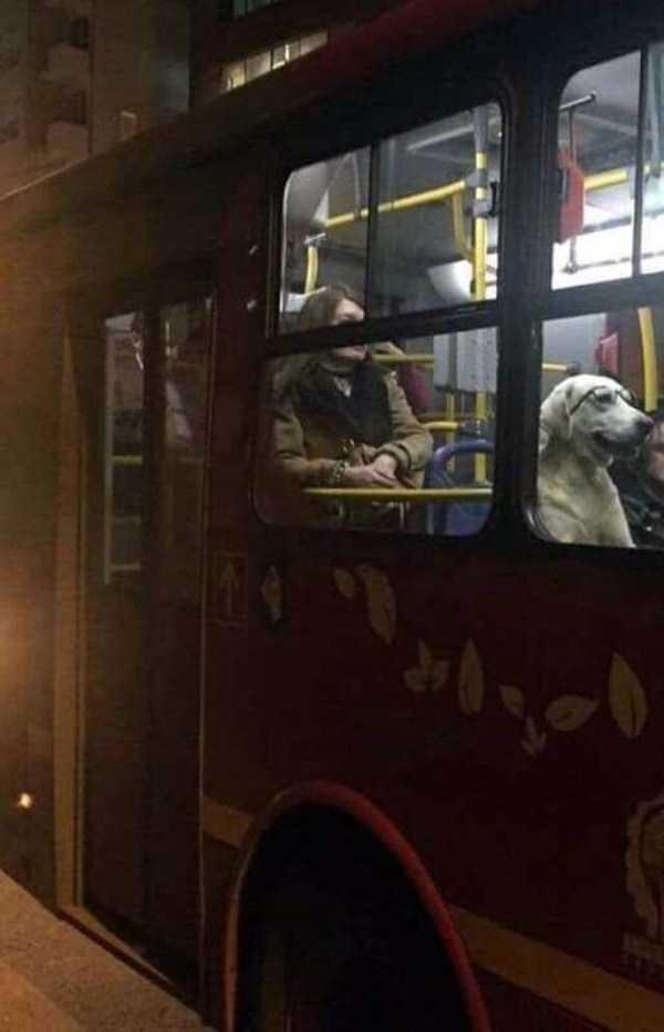 собака в очках в автобусе