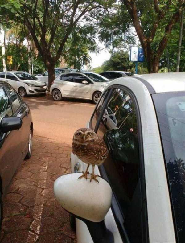 сова сидит на зеркале машины
