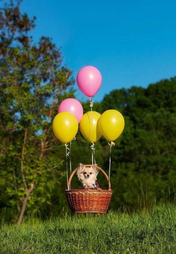 собака в корзине с воздушными шарами