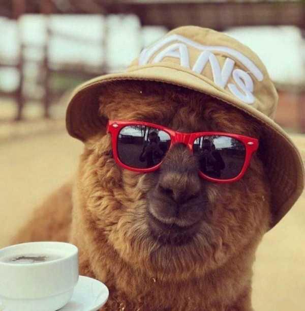 лама в шляпе и очках