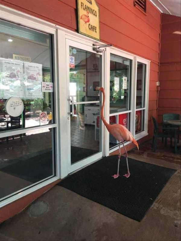 фламинго на пороге кафе