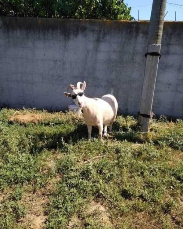 коза в солнцезащитных очках