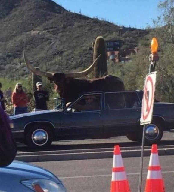 буйвол рядом с машиной