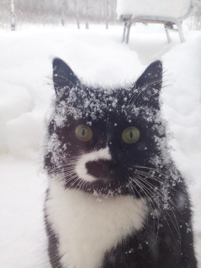 черно-белый кот в снегу