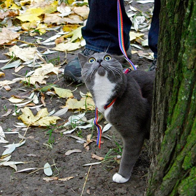 серый кот на поводке на улице