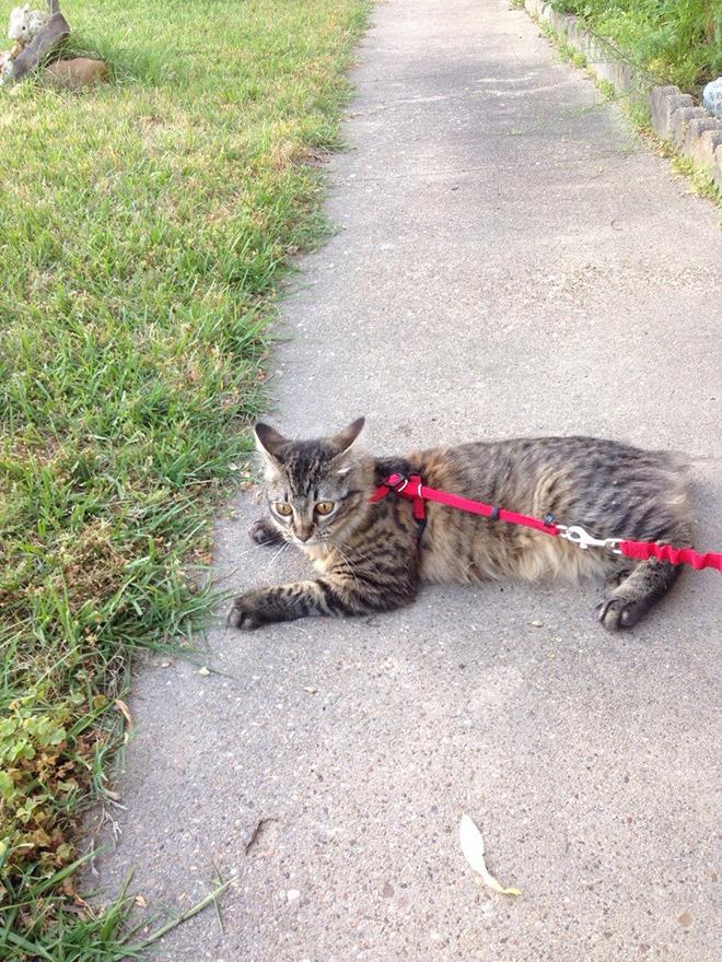 полосатая кошка на поводке