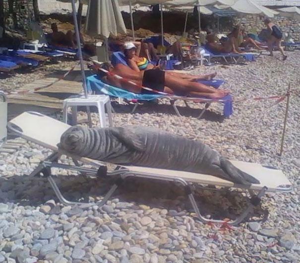 морской котик на шезлонге