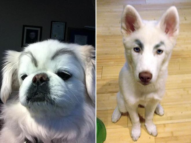 белые собаки с бровями