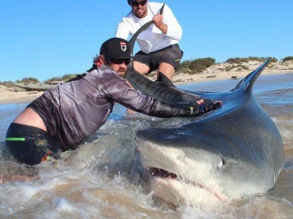 мужчины держат акулу