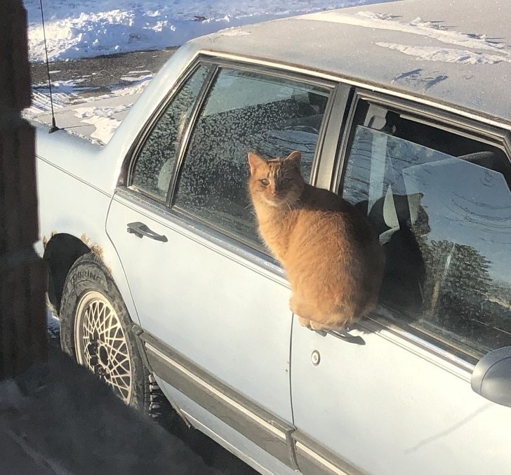 рыжий кот сидит на дверце машины