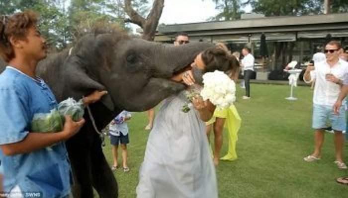 слон напал на невесту