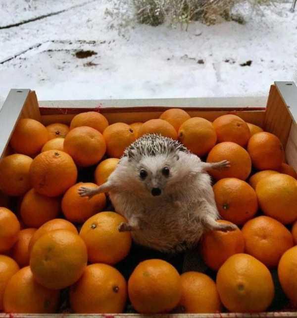еж в коробке с апельсинами