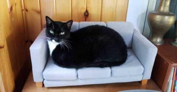 черный кот на диване