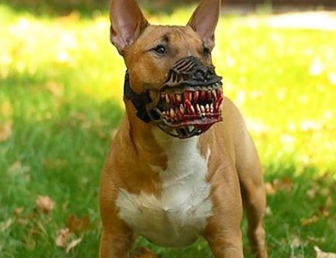 рыжий пес в наморднике
