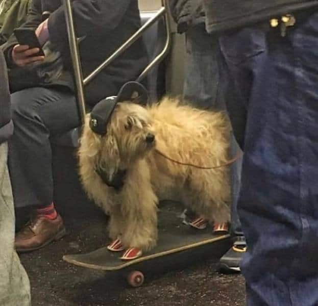 собака в кепке на скейтборде в метро