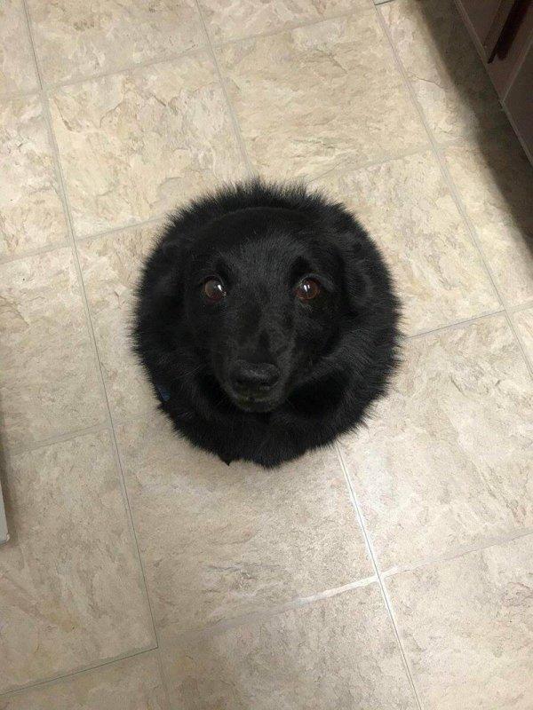 пушистый пес