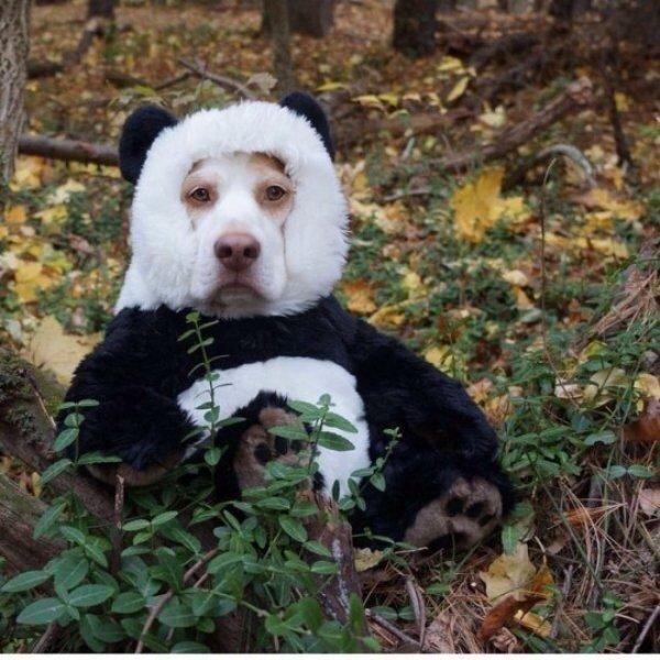 смесь собаки и панды