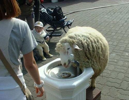 овца пьет воду