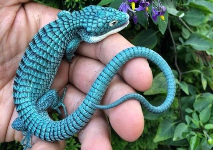 голубая ящерица на ладони