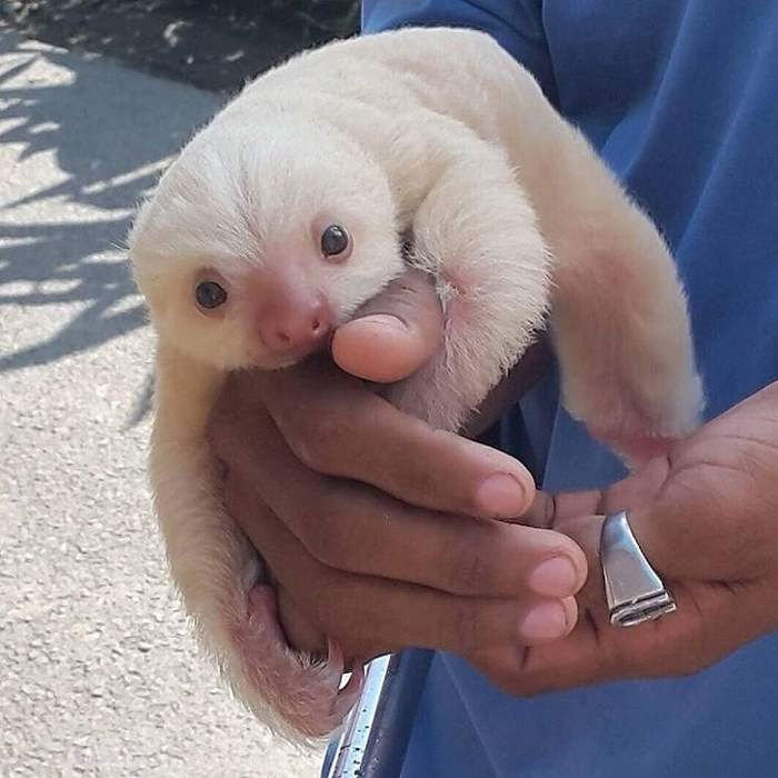 маленький ленивец