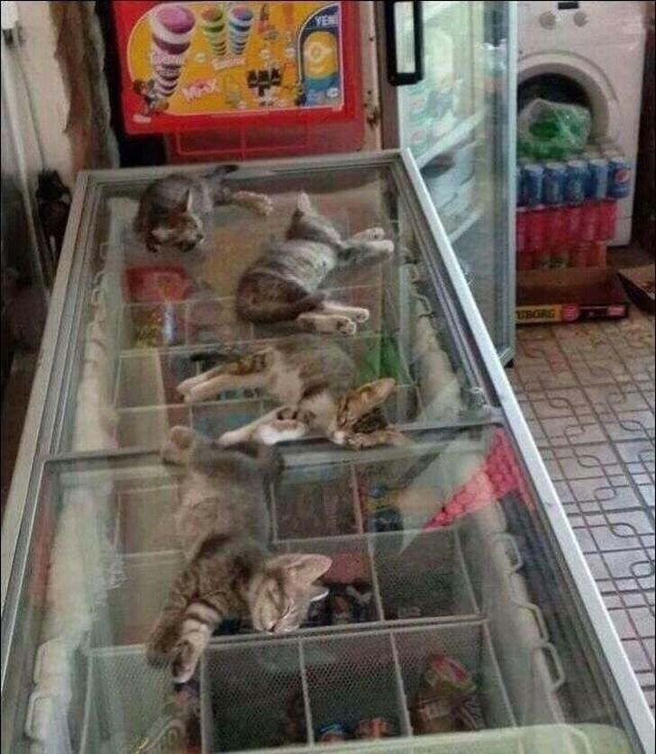 котята спят на холодильнике с мороженым