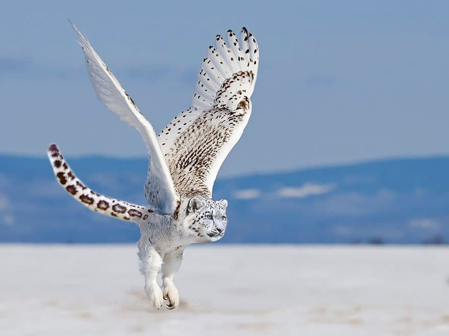 снежный барс с крыльями