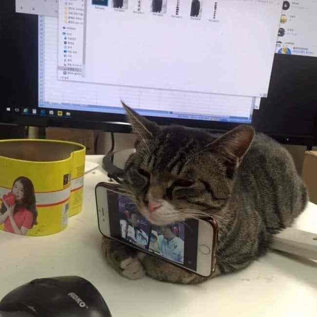 полосатый кот держит телефон