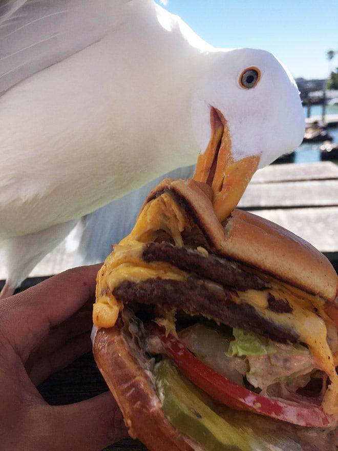чайка кусает бургер