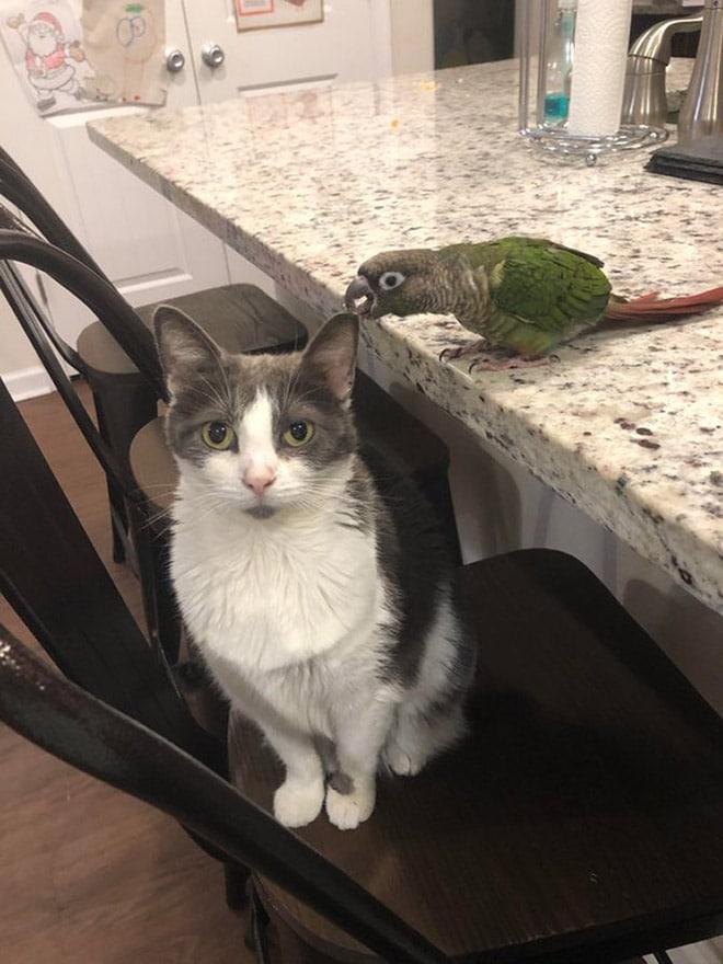 попугай кусает кота за ухо