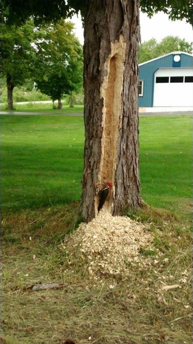 дятел в стволе дерева