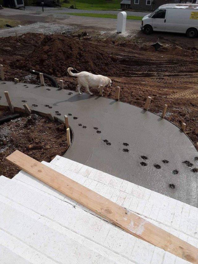 лабрадор топчется по сырому цементу