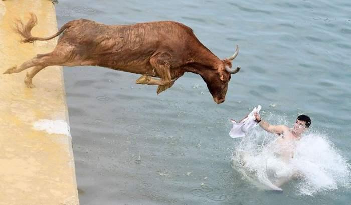 бык прыгает за парнем в воду