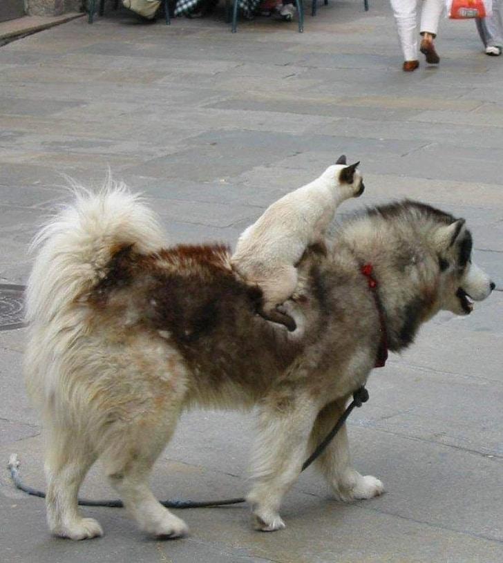 кот верхом на собаке